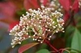Comment planter le photinia dans son jardin?