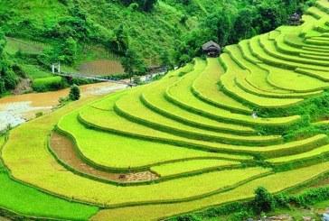 Les rizières en terrasse au Vietnam