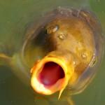 Les spécificités de la pêche à la carpe